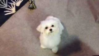 Obi The Maltese- Trick- Drying His Eyes
