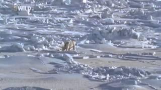 Документальный фильм: Полярный медведь