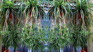 Spider plants Hanging Garden Making with UPDATE | Spider plants with Lots of Spiders//GREEN PLANTS