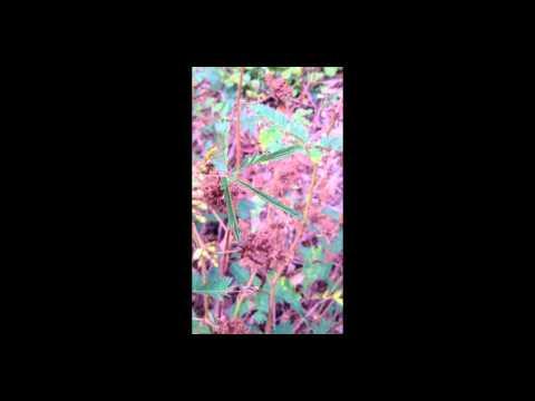 MIMOSACEAE PLANT (Mind = Blown!)