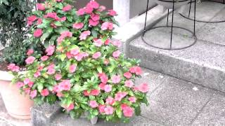 春から!秋まで・・私を迎える!玄関前の「日日草」です。 Global Marke...