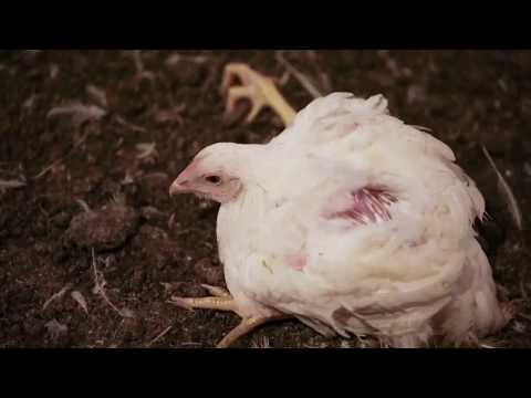 Factory Farming Can't Feed the World (Dead Zone #1)