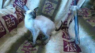 Сиамо-ориентальные котята 1, д.р.: 18.06.2018 Киев