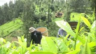 Tea Farmers To Get Mini Bonus Payment