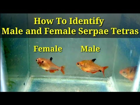 How To Identify Male And Female Serpae Tetras