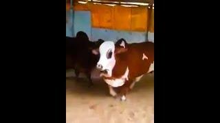 Jumping Ablak Bull Scares Other Animals at Cattle Farm in Pakistan | Bakra Eid 2018 Eid ul Adha 2018