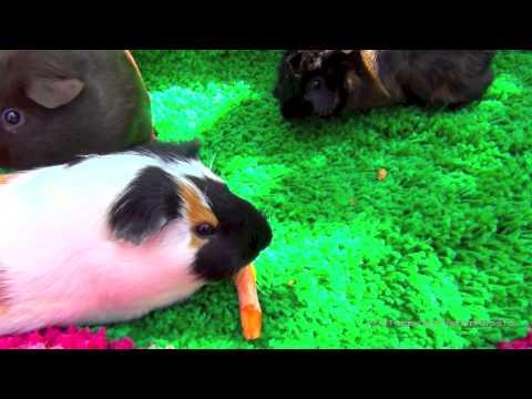 Забавные морские свинки. Морская свинка