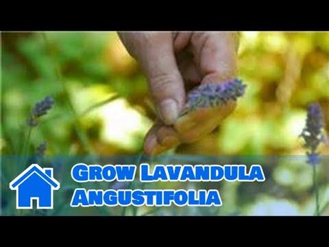 Maintaining & Pruning Shrubs : How to Grow Lavandula Angustifolia