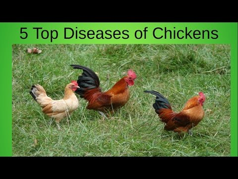 Top 5 Diseases of Your Home Chicken Flock