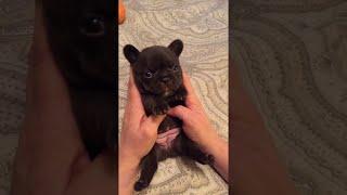 French Bulldong Puppy Belly Rub