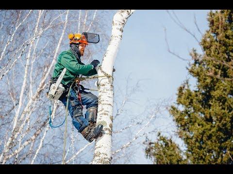 Снос, валка и обрезка деревьев путем промышленного альпинизма