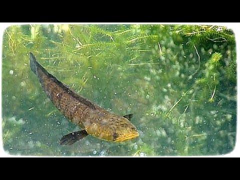 Fish: Snakehead sleeps, turtle disturbs