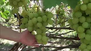 Виноградник Захаровых