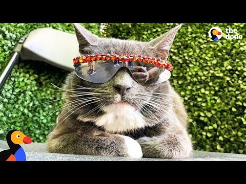 Cat Who Has To Wear Sunglasses Loves Getting Attention - BAGEL | The Dodo