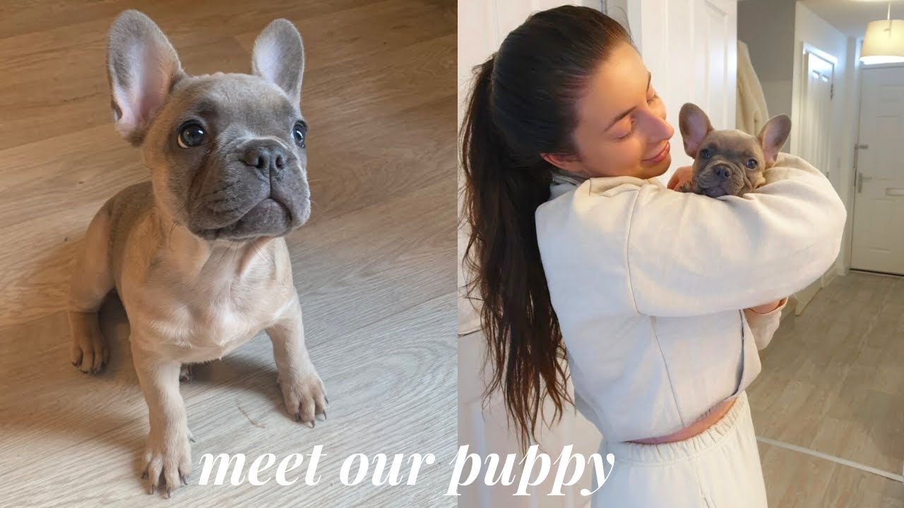 French bulldog puppy  amazing one