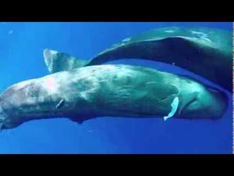 Sperm Whale Family in Dominica