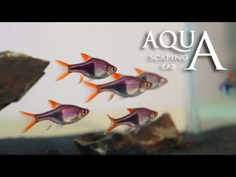 Aquascaping Lab - Harlequin Rasbora Trigonostigma Heteromorpha Fish Description / Pesce Arlecchino