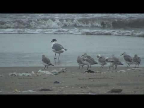 Birds of Peru: Sanderling (Calidris Alba) -- Correlimos tridactilo