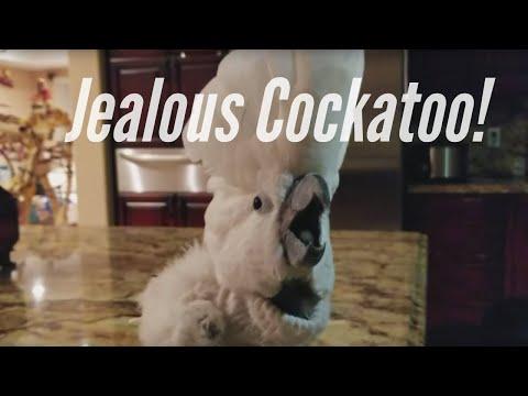My Cockatoo Jersey is So Jealous!! COCKATOO TANTRUM
