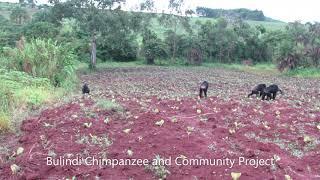 Bulindi Chimps Travelling Across Farmland