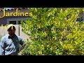 Como corregir hojas amarillas en arbol de limon