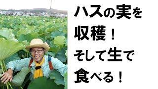 ハスの実を収穫!そして生で食べる!