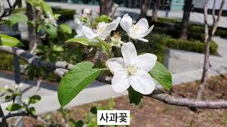 사과꽃 배꽃 모과꽃 등 과일꽃