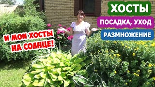 ХОСТЫ в дизайне сада! ХОСТА на СОЛНЦЕ - миф или реальность? Посадка, уход и МОИ СЕКРЕТЫ выращивания!