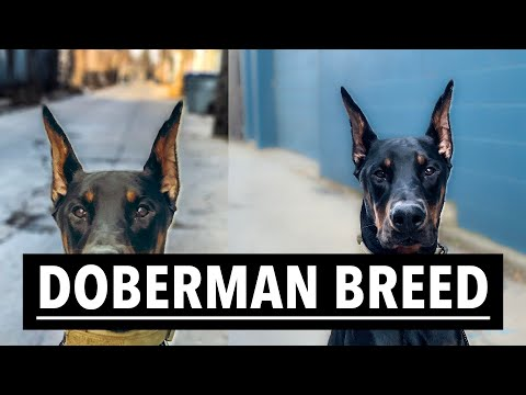 IMPORTANT THINGS YOU NEED TO KNOW BEFORE GETTING A DOBERMAN | 2019 Vlog