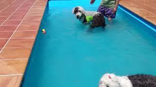 ボッサはじめてのプールにノリノリでした!足が底に付くので安全、サマ...