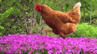 """Chicken Reel"" By Leroy Anderson"