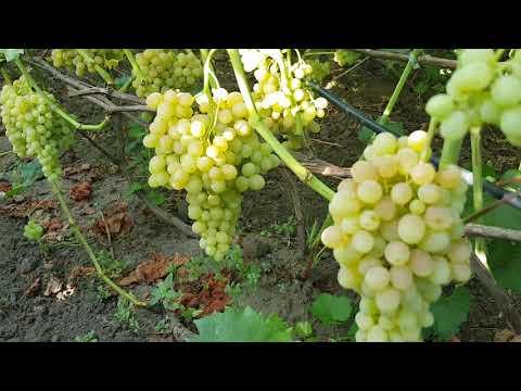 Виноград КИШМЫШ 342