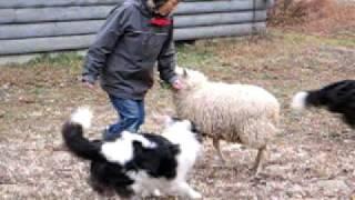 我が家に羊がやって来ました。 人にもなつき、犬たちとも仲良く出来るよ...