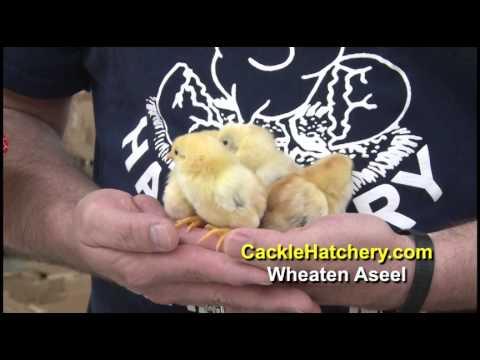 Wheaten Aseel Chicken Breed