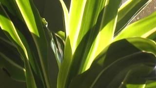 Der Drachenbaum - Dracea - Dragontree