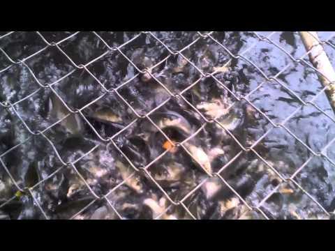 Budidaya Ikan Mas Subang