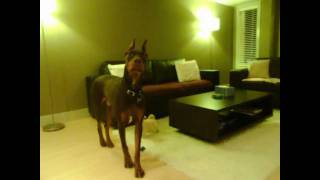 Doberman Growls At Himself