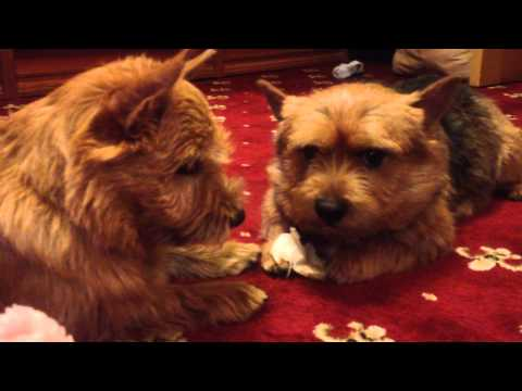 Norwich terriers have a dialog/