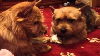 Norwich Terriers Have A Dialog/ Диалог норвичей