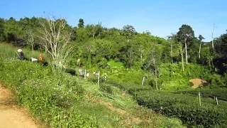 Thailand 2011 - tea plantations