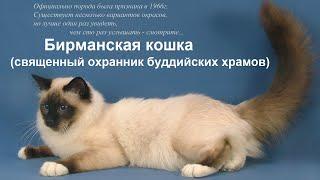Породы кошек/ Часть 6 /Бирманская кошка/ Котэ Саратовский/  Все о котах и кошках
