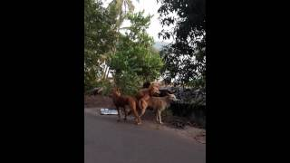 Индийские собачки снимают порно!)))