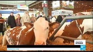 La vache française que les Africains s'arrachent - SALON DE L'AGRICULTURE