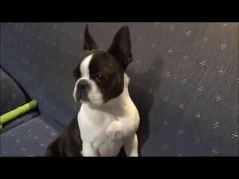 Boston Terrier. Fat Ripley.