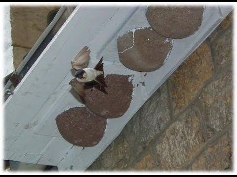 Hirondelle de fenêtre (Delichon urbicum) - Common House Martin