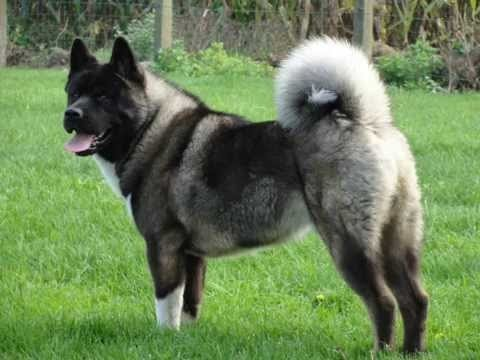 Pictures Of Japanese Akitas Dogs
