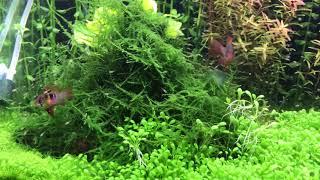 ラミレジィ稚魚の自由遊泳 thumbnail