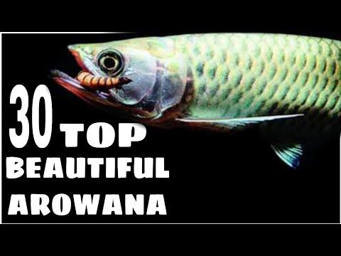 Types Of Arowana Fish   Silver Arowana   Golden Arowana   African Arowana   Jardini Arowana