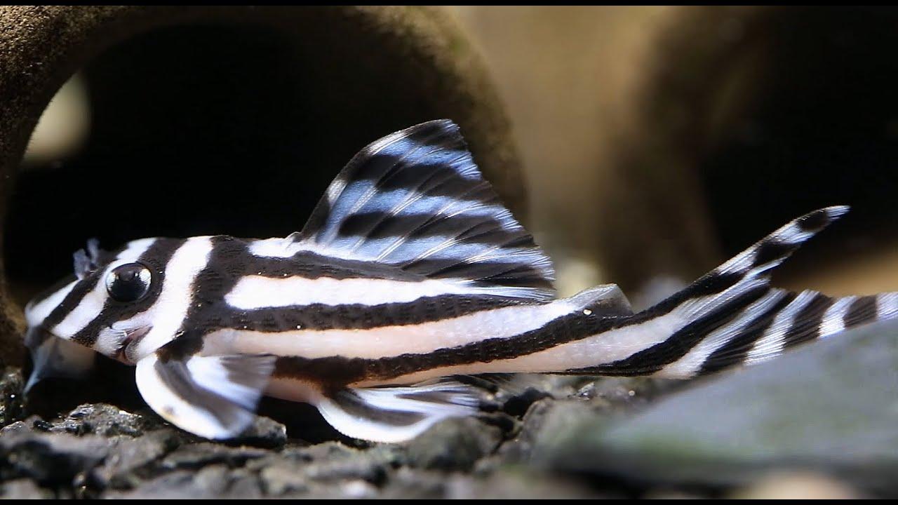 L46 Zebra Pleco - YouTube