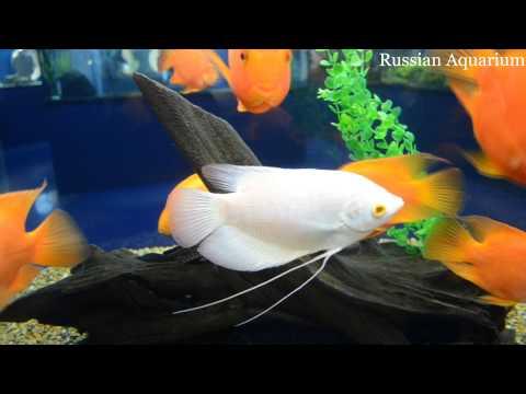 Белый Гурами и Красный попугай Blood parrot cichlid